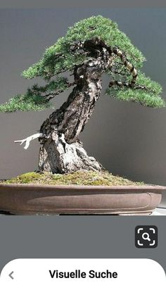 Pine Bonsai, Bonsai Art, Bonsai Styles, Pots, Trees, Japanese, Garden, Bonsai Trees, Garten