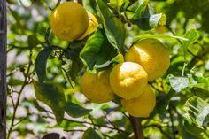 Lemon (Citrus limon Osbeck) Health Benefits | Brett Elliott's Ultimate Herbal Detox