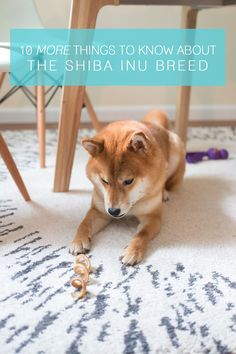 10 More Things You Should Know about the Shiba Inu Breed // Shiba Inu Temperament & Personality Traits // Hello Rigby Seattle Shiba Inu Blog