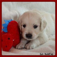 How Adorable! Sweet little Golden Retriever!: