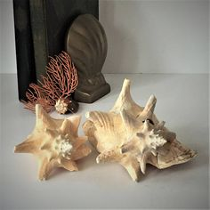 Conch Shell Specimens Two Natural Seashells Nautical Beach