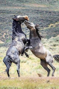 Incredible photographs show two stallions fighting over female horses