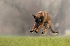 Jump For Joy - Pepper vom schnellen Fahnder month) have fun Jumping For Joy, Dog Pictures, Kangaroo, Cuddling, Creatures, Puppies, Pets, Berlin, Animals