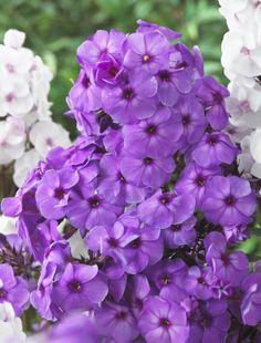 Phlox Purple Elite | Hayloft Plants