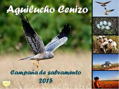 """Aguilucho Cenizo, Ayúdanos a Salvarlos. Hoy comparto este texto de la Estación Ornitológica de Padul, en el Valle de Lecrín. """"La Estación Ornitológica de Padul , hoy, os pide ayuda AGUILUCHO CENIZO, AYÚDANOS A SALVARLOS. Nuestra asociación lleva más de 14 años luchando y trabajando duro por la conservación del aguilucho cenizo en Granada. En la época de recortes en la que nos encontramos el medio ambiente siempre sale perdiendo, es por ello que la campaña de salvamento de Aguiluchos cenizo…"""