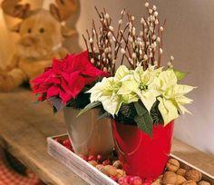 Decoração de Natal com Poinsétia