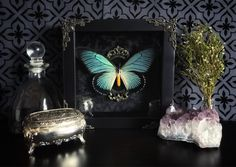 Victorian Giant Blue Swallowtail Butterfly Shadow Box, Real Butterfly, Taxidermy, Framed Butterfly, Victorian, Memento Mori, Gothic Decor, by beyondthedarkveil on Etsy https://www.etsy.com/ca/listing/543173407/victorian-giant-blue-swallowtail