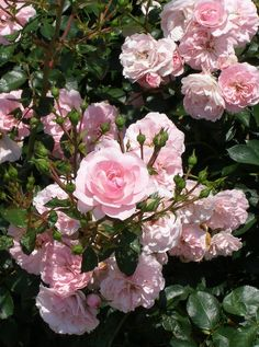 this is great - list of wonderful roses I can grow- easty ones, white, salmon, coral