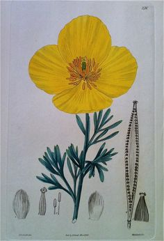 """Smith's botanical plates are exceptional engravings with hand colouring. These plates c1828. Smith spent the last thirty years of his life writing books and articles on botany. His books included Flora Britannica and The English Flora (4 volumes, 1824 – 1828)  More botanical, topographical and natural history prints reviewed each week in the webTV show """"RareMapsandPrintsReview.com"""" and available from """"Rare Maps & Prints"""" store."""