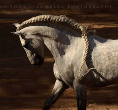 Crazy mane on this dapple gray horse.
