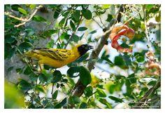 Birdwatching and Photography - Refuge LPO: Le Tisserin gendarme (Ploceus cucullatus) et les T...