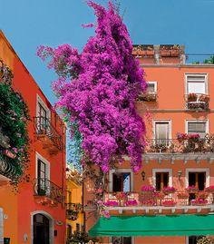 Bougainvillea Blossom  Taormina, Sicily