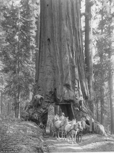 1902-vintage everyday: The Wawona Tree - Historic Photos Since Its Tunnel was Formed Untill Falling
