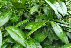 7 mooiste Haagplanten - KleineTuinen.nl Prunus, Plant Leaves, Gardening, Lawn And Garden, Peach, Horticulture