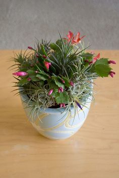 tillandsias and christmas cactus #arrangements
