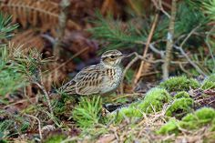 Wood Lark or Woodlark - most of Europe, Middle East, Asia & mountains of north Africa