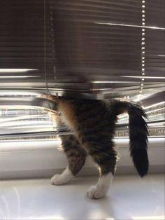 hahaha ブラインドをまたいだ猫