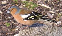 COMMON CHAFFINCH (Fringilla coelebs). It is a common and widespread small passerine bird in the finch family. This is a male because is brigthly coloured with a blue-grey cap and rust-red underparts. The chaffinch breeds in much of Europe, across Asia to Siberia and in northwest Africa. By F. Bendezu-2ºESO A