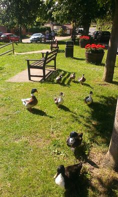 Very attentive ducks at Westleton, close to Minsmere reserve