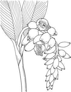 Shell Ginger Flower Coloring Page From Category Select 26396 Printable Crafts Of Cartoons