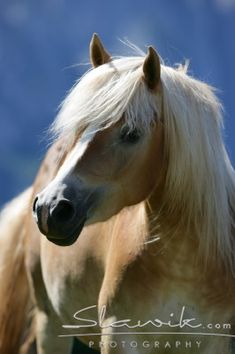 Horses images Haflinger wallpaper and background photos (1256937)
