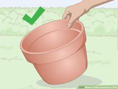 How to Plant Lavender in Pots. Lavender plants are beautiful and fragrant plants that thrive in warm dry climates. Not all climates are great for them, so sometimes they need a little extra care to grow well and produce the blossoms you. Lavender Potted Plant, Lavender Plant Care, Growing Lavender, Potted Plants, Garden Plants, Organic Gardening, Gardening Tips, Baie De San Francisco, Agriculture Durable