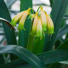 Clivia gardenii, Inanda Bush.  Colorado Clivia's plant number 1951.