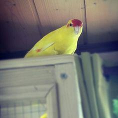 Kakariki Parrots, Mammals, Wildlife, Birds, Fish, Adventure, Yellow, Green, Animaux