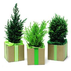 conifer decorations, evergreen pots, small christmas tree, plant ...