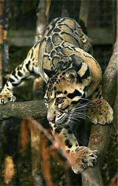 The endangered Clouded Leopard (Neofelis nebulosa). Its total population size is suspected to be fewer than Nature Animals, Animals And Pets, Cute Animals, Wild Animals, Baby Animals, Beautiful Cats, Animals Beautiful, Beautiful Creatures, Big Cats