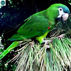 https://www.facebook.com/WonderBirdSpecies/ Red-shouldered macaw (Diopsittaca nobilis); Venezuela, the Guianas, Bolivia, Brazil, and Peru; IUCN Red List of Threatened Species 3.1 : Least Concern (LC)(Loài ít quan tâm) || Vẹt Macaw vai đỏ; Venezuela, the Guianas, Bolivia, Brazil và Peru; HỌ VẸT - PSITTACIDAE (True Parrots).