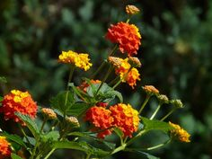 Curious about natural mosquito repellent plants? Satisfy your curiosity and find out if indeed these mosquito repellent plants are a match against these pesky blood-thirsty, disease-spreading, ear … Natural Mosquito Repellent Plants, Insect Repellent Spray, Mosquito Repelling Plants, Lantana Camara, Drought Resistant Plants, Invasive Plants, Plant Science, How To Attract Hummingbirds, Plant Species