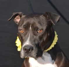 Boots-HSCCL is an adoptable Pit Bull Terrier Dog in Plano, TX. https://www.facebook.com/photo.php?fbid=470063699696554=a.470063539696570.99660.155194581183469=1 This dog is available ...