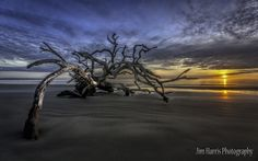 The February 2014 Photograph of the Month  Driftwood Beach at Jekyll Island, GA  by jaharris1001!