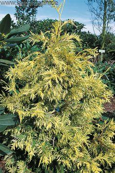 Thuja plicata Zebrina Extra Gold Туя P10.5 r 20-25 2шт
