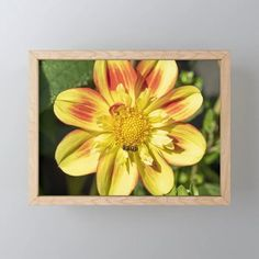 Dahlia Flower and Hoverfly Framed Mini Art Print - Would make a lovely little gift!  #wallart #artprints #miniartprints #flowerphotography #society6 (affiliate link)