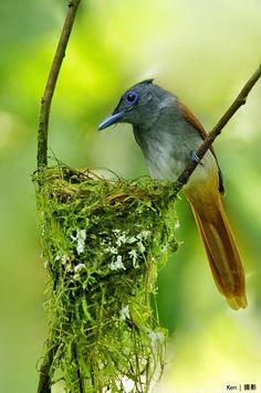 (Explored) Asian Paradise Flycatcher bird green nest Bokeh photography
