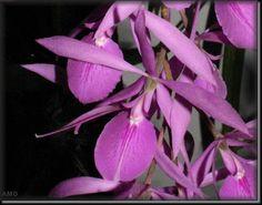 Encyclia adenocaula. from western Durango, Sinaloa, Jalisco, Michoacan, Guererro and Mexico states of Mexico.