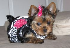 Haircut Styles For Yorkies For School - yorkie haircuts pictures - coolest yorkshire terrier haircuts Yorkshire Terriers, Yorkshire Terrier Haircut, Teacup Yorkie, Yorkie Puppy, Little Dogs, Cute Puppies, Cute Dogs, Lab Puppies, Rottweiler Puppies