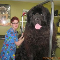 Biggest dog ever!  Newfoundland