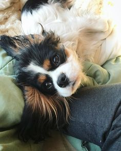 Image of: Milton Baxtertheking On Instagram i Love Snuggling With Mom Cavalier King Charlescavalier King Spanielking K9 Of Mine 197 Best Emotional Support Dog Images Dog Cat Doggies King