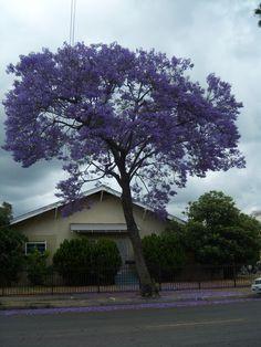 藍花楹〈紫鳳凰