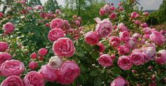 Planter Rosier, Landscaping With Roses, Landscaping Ideas, Garden Landscaping, Ground Cover Roses, Sonic Bloom, Floribunda Roses, Growing Peonies, Growing Flowers