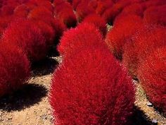 """Kochia trichophylla, """"Burning Bush"""". This compact shrub is a pleasant spring green until fall, when it turns a screaming pink-red. Great for a low hedge or as a living garden sphere."""