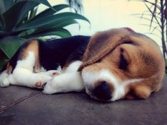 Are you interested in a Beagle? Well, the Beagle is one of the few popular dogs that will adapt much faster to any home. Cute Beagles, Cute Puppies, Cute Dogs, Dogs And Puppies, Doggies, Toy Dogs, Animals And Pets, Baby Animals, Cute Animals