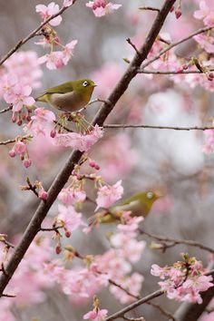Birds on Sakura  ... no hay mejor melodía ... mayor regalo que el arruyo de un ave al corazón ...