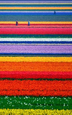 Tulip Fields, Netherlands  This tulip field in Netherland is has a wide area of land filled with beautiful tulips in different colors, making it attractive and colorful like a rainbow ,from Iryna