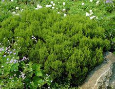 Erica arborea/ Baumheide [immergrün | langsam wachsend | -5°C | mediterran]