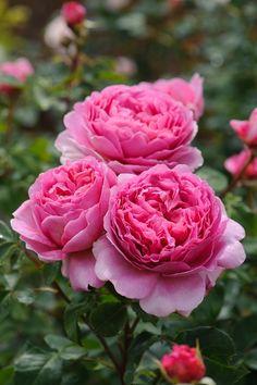 English Roses Princess Alexandra of Kent - David Austin English Rose Beautiful Rose Flowers, All Flowers, Flowers Nature, Exotic Flowers, Beautiful Gardens, Flower Pictures Roses, Purple Flowers, David Austin Rosen, Arrangements Ikebana