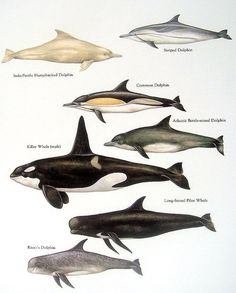 Items similar to Humpbacked Dolphin, Killer Whale, Common Dolphin, etc. Vintage 1984 Fish Book Plate on Etsy Le Morse, Common Dolphin, Bottlenose Dolphin, Humpback Whale, Whale Drawing, Pilot Whale, Parc A Theme, Rare Animals, Strange Animals
